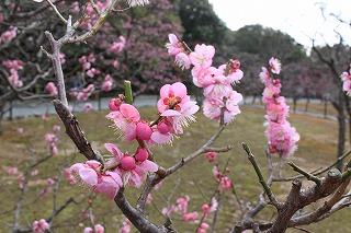 梅林の梅その1